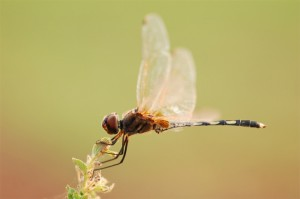 Fragon Fly