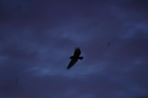 Owl flying at dusk