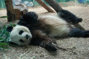 Panda-belly