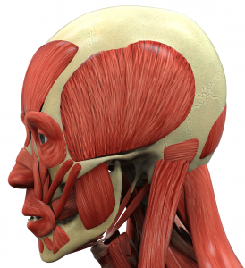 picture of Muscles of head