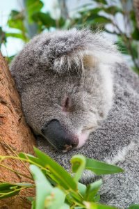Close up view of a koala sleeping in a tree