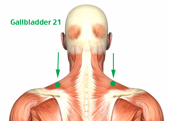 Gallbladder 21 is located on the back side of the upper Trapezius muscle